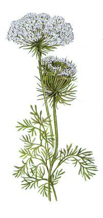 Operagastro > Ricette coi fiori: Frittelle di fiori di carota.