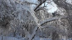 Video about Winter scene in park - snow covered trees in a sunny frosty day. Video of snowfall, holiday, nature - 65410777 Snow Covered Trees, Winter Scenes, Park, Nature, Photography, Outdoor, Outdoors, Naturaleza, Photograph