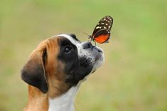 """Determine additional details on """"Boxer Puppies"""". Take a look at our internet site. Boxer Puppies, Cute Puppies, Cute Dogs, Dogs And Puppies, Doggies, Boxer Rescue, Boxer And Baby, Boxer Love, Beautiful Dogs"""