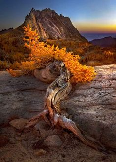 Endurance - Mountain Larch by Marc Dilley