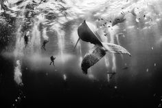 Divers swim with a humpback whale and her newborn calf in Revillagigedo, Mexico. (Anuar Patjane Floriuk.National Geographic Traveler Photo Contest)
