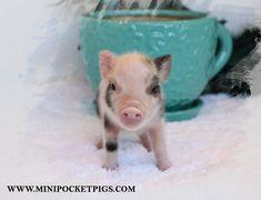 Mini & Micro Juliana Baby Pigs For Sale - Mini Pocket Pigs : Mini Pocket Pigs Micro Pigs For Sale, Baby Pigs For Sale, Teacup Pigs For Sale, Cute Baby Pigs, Micro Pig Full Grown, Teacup Pigs Full Grown, Unique Animals, Cute Little Animals, Micro Piglets