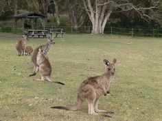 Kangaroos in the wild, Southwest Rocks Australia. I wanna go jumping with these little fellas'!