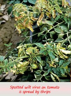 Spotted wilt virus has traditionally been a problem in commercial tomato production, however it's increasing been found in home gardens. More on p 51 of How to Grow Juicy Tasty Tomatoes