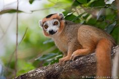 Crowned Lemur - endemic to the dry deciduous forests of the northern tip of Madagascar Types Of Animals, Animals And Pets, Cute Animals, Wild Animals, Funny Animals, Primates, Mammals, New World Monkey, Magnificent Beasts