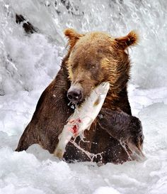 https://flic.kr/p/2BGYxM | Grizzly with salmon | Here's an image that needed a lot of Photoshop-ing...  The scene itself is the same way it appears in the RAW file, but the bear is really dark and the water is blown-out white so I had to selectively manipulate the brightness/contrast of different parts of the image.  My PS skills are far too limited to do a good job with this - I'm sure there's a much better combination of techniques than the ones I used.  Maybe HDR/tone mapping would have…
