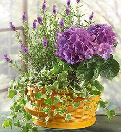 Lavender Dish Garden : Richfield, UT Florist : Same Day Flower . Dish Garden, Herb Garden, Ivy Plants, Garden Plants, Birthday Flower Delivery, Best Indoor Plants, Indoor Ivy, Inside Garden, House Plants Decor