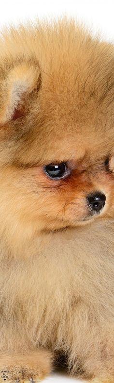 Cute Pomeranian