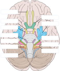 There are 12 pairs of cranial nerves. All of them arise from brain and brain stem.Learn about all the 12 cranial nerves, their anatomy and functions. Cranial Nerves Anatomy, Nerve Anatomy, Human Anatomy And Physiology, Anatomy Organs, 12 Cranial Nerves Mnemonic, Human Brain Anatomy, Nursing School Notes, Ob Nursing, Nursing Schools