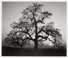 Chêne, Sunset City, Sierra Foothills, Californie, 1963, Ansel Adams