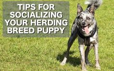 Tips for socializing your herding breed puppy (or any puppy)