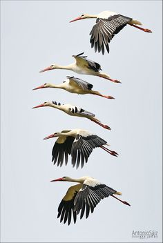 Cigüeña - Secuencia del vuelo de la cigüeña