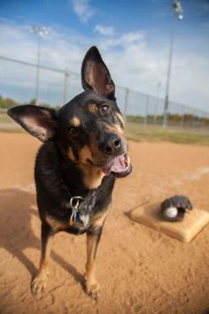 Australian Shepherds, West Highland Terrier, Scottish Terrier, Rottweiler, Husky, Flat Coated Retriever, Dog Facts, Great Pyrenees, Whippet