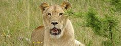 Two Ways For Saving Wild Lions No Matter Where You Live