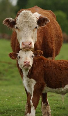 Farm With Animals, Barnyard Animals, Large Animals, Baby Animals, Pet Cows, Baby Cows, Fluffy Cows, Fluffy Animals, Cow Pictures