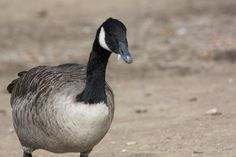 Canada Goose @Winderemere Lakes District, UK