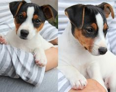 Jack Russell Terrier - A Dog in One Pack - Champion Dogs Parson Russell Terrier, Jack Russell Terriers, I Love Dogs, Cute Dogs, Awesome Dogs, Jack Russell Puppies, Jack Russells, Bull Terrier Dog, Mundo Animal