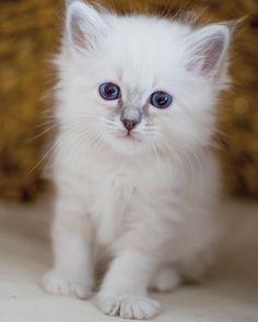 Häagen Dazs 6 weeks #minimazarinerna2017 #birma #birman #breeder #catsofinstagram #chokladochvanilj #kitten #pinkalicious #topcatphoto #happycatclub #welovecats #we_love_cats #excellent_cats #excellent_kittens #bestcats_oftheworld #birman_cats_lovers #birman_feature #birmancat #birmavanner