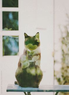 Cat and hellebores: a double exposure on film | Laura Stolfi for Stocksy United