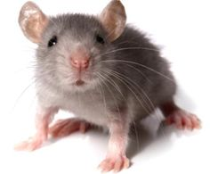common household pests #pests #householdpests #mice #rats #exterminator #homeremodeling