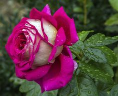 203 Beautiful Pictures of Roses