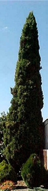 1000 ideas about cupressus sempervirens on pinterest italian cypress trees society garlic. Black Bedroom Furniture Sets. Home Design Ideas