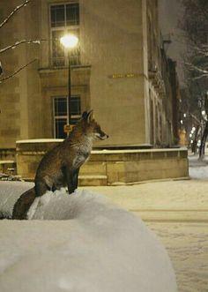 Fantastic Fox, Fabulous Fox, Amazing, Animals And Pets, Baby Animals, Cute Animals, Wild Animals, Wildlife Photography, Animal Photography