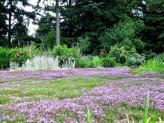 """Thyme lawn, instead of grass. """"'Elfin' thyme lawn. It blooms for four to five weeks in midsummer, doesn't need mowing, edging or fertilizing, and requires very little, if any, irrigation."""""""