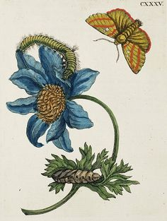 It's About Time: Female Natural History Artist - Maria Sibylla Merian (German artist, Vintage Botanical Prints, Botanical Drawings, Vintage Botanical Illustration, Botanical Flowers, Botanical Art, Sibylla Merian, Oriental Flowers, Nature Artists, Nature Journal