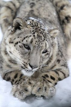 Snow Leopards Love Snow