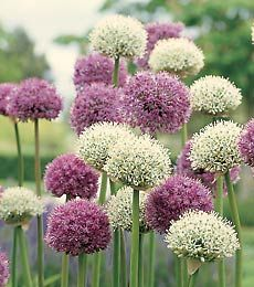 The genus Allium, the Latin means 'garlic', offers colorful, long-lasting forms that are standouts in the early-summer garden. Tuck Allium flower bulbs among clumps of summer-flowering perennials in a sunny location with well-drained , even sandy, soil. Deer, mice, chipmucks, and related predators generally avoid them.