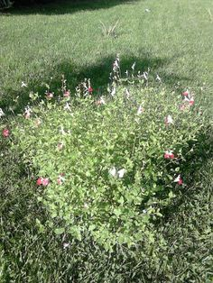 Salvia florida, octubre 2014