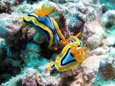 Nudibranch Alien Creatures, Sea Creatures, Sea Slug, Life Aquatic, Natural Phenomena, Underwater World, Patterns In Nature, Science And Nature, My Animal