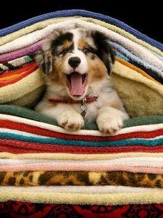 Cozy Australian Shepherd pup (always in the laundry) Australian Shepherds, Australian Shepherd Puppies, Aussie Puppies, Cute Puppies, Dogs And Puppies, Pets, Pet Dogs, Dog Cat, Doggies
