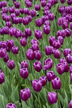 Purple_Tulip_Garden