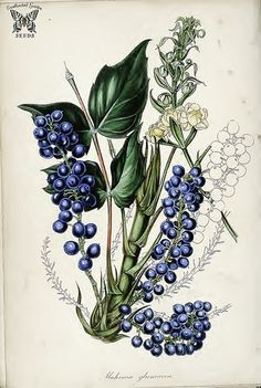 Mahonia glumacea syn. Berberis nervosa. Striking blue, grape colored berries with fine powdery bloom, held closely in long spikes. Dwarf shrubs, with yellow spring flowers. Magazine of botany and register…Paxton, J. vol. 7 (1840)