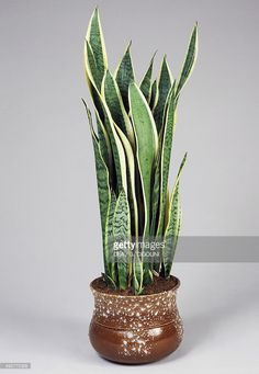 a sansevieria plant is another one of those hardy almost. Black Bedroom Furniture Sets. Home Design Ideas