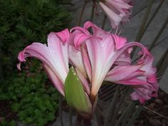 The balladonna lily (Amaryllis belladonna) is blooming NOW (in ...