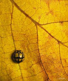 "petitcabinetdecuriosites:    (via 500px / Photo ""Netty Ladybird Beetle"" by Niko Vass)"