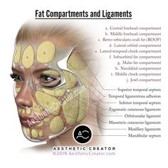 Fat Compartments and Ligaments by KevinCease on DeviantArt Facial Anatomy, Head Anatomy, Relleno Facial, Aesthetic Dermatology, Facial Aesthetics, Diy Beauty Treatments, Botox Fillers, The Face, Muscle Anatomy