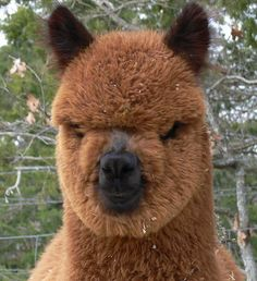 The Peruvian Alpaca - The Original real life Ewok !     A native of Peru and lives wildly and domestically throughout the Andes Mountain Range, highlands, and plateaus. Very very high up!