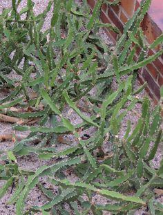 Euphorbia. http://www.elhogarnatural.com/Suculentas%20y%20crasas.htm