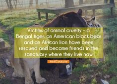 Victims of animal cruelty – a Bengal tiger, an American black bear and an African lion have been rescued and became friends in the sanctuary where they live now - http://factecards.com/victims-animal-cruelty-bengal/