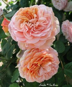 Leander ~ English Shrub Rose