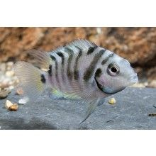 """Convict Cichlid. Central American. NOT a community fish. Grows up to 3.9"""""""