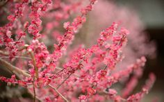 desktop background image of plum blossoms at the Kitano Tenmangu Shrine (北野天満宮), Kyoto Japan -- Bright Pink -- Kitano Tenmangu Shrine (北野天満宮...