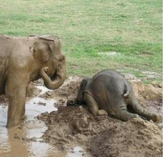 Sometimes the adolescent elephant will throw itself on the ground in a time of extreme distress commonly know as a tantrum. - Imgur