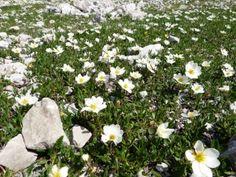 Berganemonen in den Lienzer Dolomiten, Osttirol