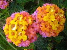Lantana; favorite flower.