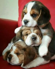 The picture shows how immense the love is between the Beagle puppies. Two of them are sleeping and the other one is taking care of them. They even look healthy as proper Beagle food might be served to them. We have shared important tips to feeding Beagle. Cute Beagles, Cute Puppies, Cute Dogs, Puppies Puppies, Honda, Beagle Puppy, Baby Beagle, Happy Puppy, Dog Behavior